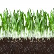 Oat grass and roots in soil cross-cut section — Stock Photo