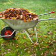 Wheelbarrow full of dried leaves — Stock Photo