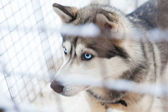Beautiful husky dog — Stock Photo