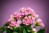 красивые цветы hybrida вербена — Стоковое фото