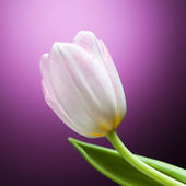 Tulip flower op paarse achtergrond — Stockfoto