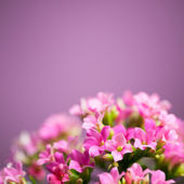 Beautiful Verbena hybrida flowers — Foto de Stock