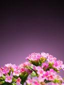 美しいバーベナ ペチュニアの花 — ストック写真