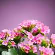 Beautiful Verbena hybrida flowers — Foto Stock