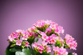 Beautiful Verbena hybrida flowers — Stock Photo
