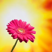 Gerbera flower on bright sunny background — Stock Photo