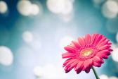 Gerbera flower on shiny bokeh background — Stock Photo