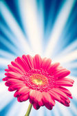 Gerbera flower on shiny rays background — Stock Photo