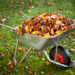 Wheelbarrow full of dried leaves - Stock Photo