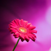 Gerbera flower on purple background — Stock Photo