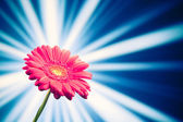 Gerbera flower on shiny rays background — Stok fotoğraf