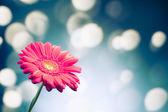 光沢のあるボケ味の背景にガーベラの花 — ストック写真