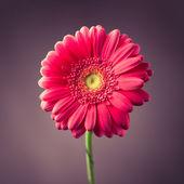 Pink gerbera flower on purple background — Stock Photo