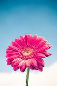 Gerbera blomma på himmel bakgrund — Stockfoto