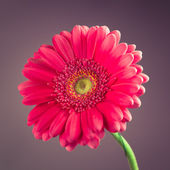 Pink gerbera flower on purple background — Stock Photo