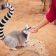 Stock Photo: Ring-tailed lemur feeding