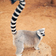Stock Photo: Cute ring-tailed lemur