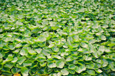 Multitude of green water lily plant — Stock Photo