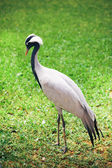 Beautiful crane bird on green background — Zdjęcie stockowe