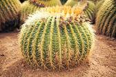 Huge cactus — Stock Photo