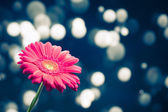 Gerbera flower on shiny bokeh background — Stock Photo