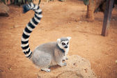Cute ring-tailed lemur — Stock Photo
