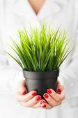 Green grass pot in hands — 图库照片