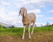 One sheep against sky background — Stock Photo