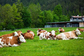 Cows laying down on the meadow — Stock Photo