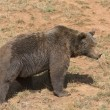 Stock Photo: Big brown bear.