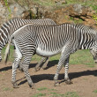 Royalty-Free Stock Photo: Two Zebras