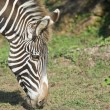 Zebra head — Stock Photo