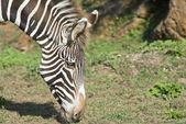 Zebra head — Stockfoto