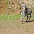 Zebra running free — Stock Photo