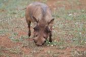 草を食べてイボイノシシ — ストック写真