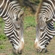 Two heads of zebra. — Stock Photo