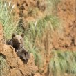 Big brown bear resting on the top of a cliff — Stock Photo