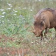Warthog in the wild - Stock Photo