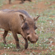 Warthog in the savannah — Stock Photo