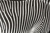 Bir zebra deri dokusuna. — Stok fotoğraf