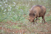Warthog in the wild — Stock Photo