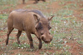 Warthog in the savannah — Stock Photo