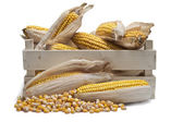 Wooden crate with corn ears — Stock Photo