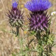 Thistle — Stock Photo