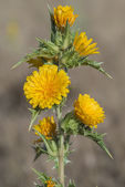 Scolymus hispanicus — Stock Photo