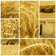Stock Photo: Cereal crops and harvest