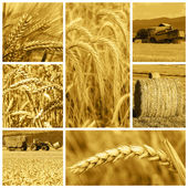 Cereal crops and harvest — 图库照片