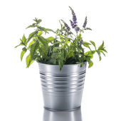 Flowerpot with a mint plant isolated on white background — Stock Photo