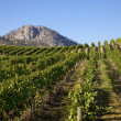 Mountain Vineyard — Stock Photo