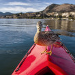 Duck On A Kayak — Stock Photo